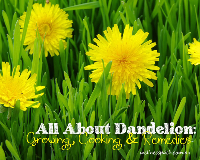 All About Dandelion: Growing, Cooking & Remedies @ Wellness Path