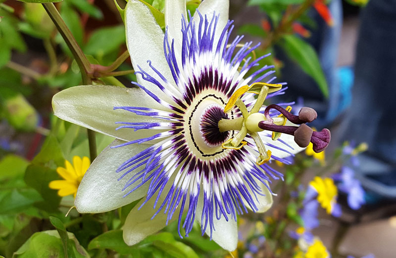 Passiflora incarnata - Wellness Path